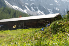 Berghütte mit blauem Enzian Stockbild