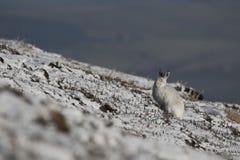 Berghare, Lepustimidus, slut upp ståenden, medan sitta som lägger på snö under vinter i vinter-/sommarlag under autumn/wi Arkivfoton