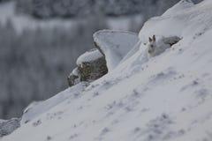 Berghare, Lepustimidus, slut upp ståenden, medan sitta som lägger på snö under vinter i vinter-/sommarlag under autumn/wi Arkivbild