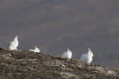 Berghare, Lepustimidus som, är lösa i grupp och spring på den insnöade vintern, februari i röktopornas nationalpark, Skottland Arkivbild