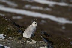 Berghare, Lepustimidus som, är lösa i grupp och spring på den insnöade vintern, februari i röktopornas nationalpark, Skottland Royaltyfri Fotografi