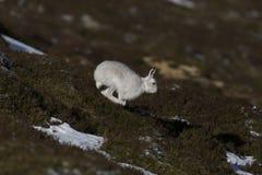 Berghare, Lepustimidus som, är lösa i grupp och spring på den insnöade vintern, februari i röktopornas nationalpark, Skottland Royaltyfria Foton