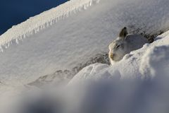 Berghazen, Lepus-timidus die, zitting, op een zonnige dag in de sneeuw tijdens de winter in het rookkwarts nationale park lopen,  Stock Afbeelding