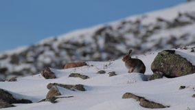 Berghazen, Lepus-timidus, in Oktober nog in de zomerlaag door sneeuw in de rookkwartsen NP, Schotland wordt omringd dat stock video