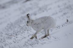 Berghazen met de winterlaag in mengsel van sneeuw en naakte grond stock foto's