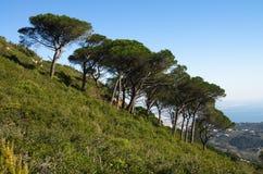 Berghelling met de bomen van de Steenpijnboom - Pinus pinea Stock Fotografie