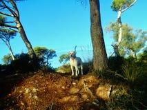 Berghond Stock Afbeelding