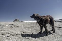 Berghond op een hoog rotsachtig plateau Royalty-vrije Stock Afbeelding