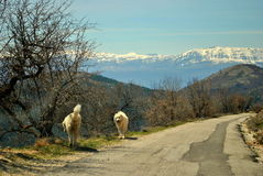 Berghundkapplöpning Arkivfoto