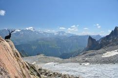 BergIbex och glaciär royaltyfria foton