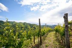 Bergiga vingårdar i försommar i Italien royaltyfria bilder