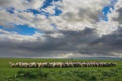 Bergigt lantligt landskap: Alta Murgia National Park Flock av får och getter som betar i en dyster vinterdag Italien Apulia arkivfoton