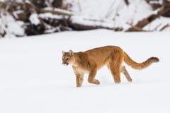Berglöwe auf einer Jagd lizenzfreie stockbilder