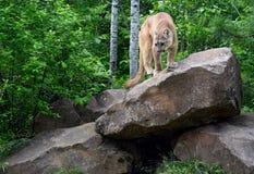 Berglöwe, der auf einem großen Flussstein steht Stockbilder