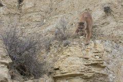 Berglöwe, der auf Leiste geht Stockfotografie