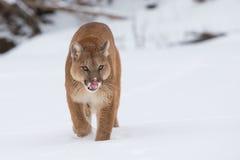 Berglöwe, der im Schnee sich anpirscht Stockfotografie