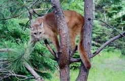Berglöwe herauf einen Baum stockbilder