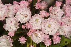 Berglager blommar från fallberget i Manchester, Connec Royaltyfria Foton