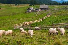 Berglandschaft mit Herde von Schafen lassen auf grüner Weide in den Bergen weiden Stockfotos