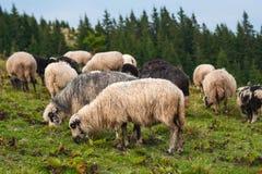 Berglandschaft mit Herde von Schafen lassen auf grüner Weide in den Bergen weiden Lizenzfreie Stockfotos