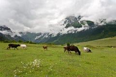 Berglandschaft mit Kühen. Lizenzfreie Stockfotos