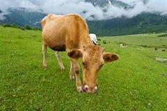 Berglandschaft mit Kühen. Stockfoto