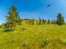 Berglandschaft, Weißkopfseeadler, der oben ansteigt Stockfoto