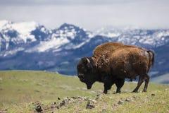 Berglandschap met buffels op horizon Royalty-vrije Stock Foto's