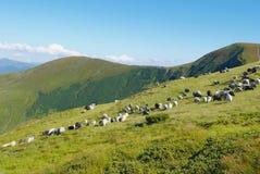 Berglandskap med sheeps i Carpathians Arkivfoton