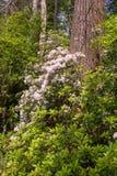 Berglaurier die een boomboomstam omringen stock foto's