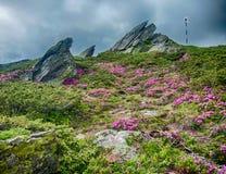 Berglutningar fyllde med buskar av rhododendronkotschyi i fagarasberg Rumänien i försommar Arkivbild