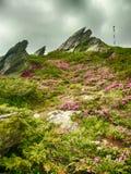 Berglutningar fyllde med buskar av rhododendronkotschyi i fagarasberg Rumänien i försommar Royaltyfria Bilder