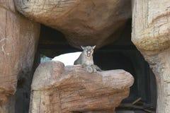 Berglöwe, der auf Felsen im Arizona-Sonora-Wüsten-Museum in Tucson, AZ sitzt Lizenzfreies Stockfoto