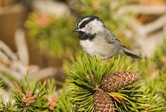 Bergmees, Mountain Chickadee, Poecile gambeli stock photography