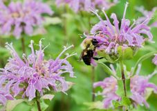 Bergmot och bin arkivfoton