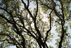 bergoak Royaltyfri Fotografi