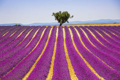 Bergopwaartse lavendel en eenzame boom De Provence, Frankrijk royalty-vrije stock fotografie