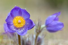 BergPasqueflower Pulsatilla montana arkivfoto