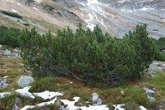 Bergpijnboom in Rohá?e-bergen, Westelijke Tatras Stock Foto
