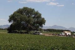 Bergrodeoinställning på bomullsfältet Arkivbild