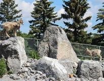 Bergschafe auf den Felsen bereit zu springen Lizenzfreie Stockfotos