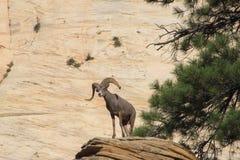 Bergschapen op Rand in Zion NP Stock Foto