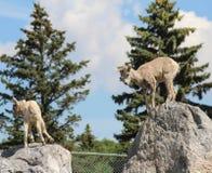 Bergschapen op rotsen klaar te springen Royalty-vrije Stock Afbeeldingen