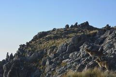Bergsfår i bergen Arkivfoto