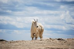 Bergsfår i Colorado ` s Rocky Mountains, Förenta staterna royaltyfri fotografi