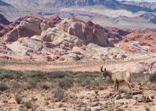 Bergsfår i Nevada Desert fotografering för bildbyråer