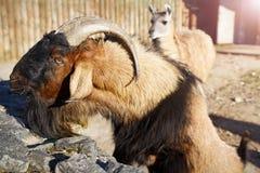 Bergsfår och lama i zoo Djur i stadszoo royaltyfria foton