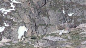 Bergsfår och ungar stock video