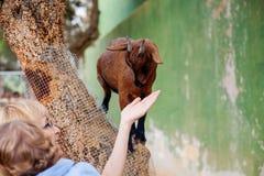 Bergsfår på zoo arkivfoton