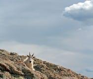 Bergsfår som överst vilar av det Harney maximumet som förbiser Blacket Hills av South Dakota USA royaltyfria foton
